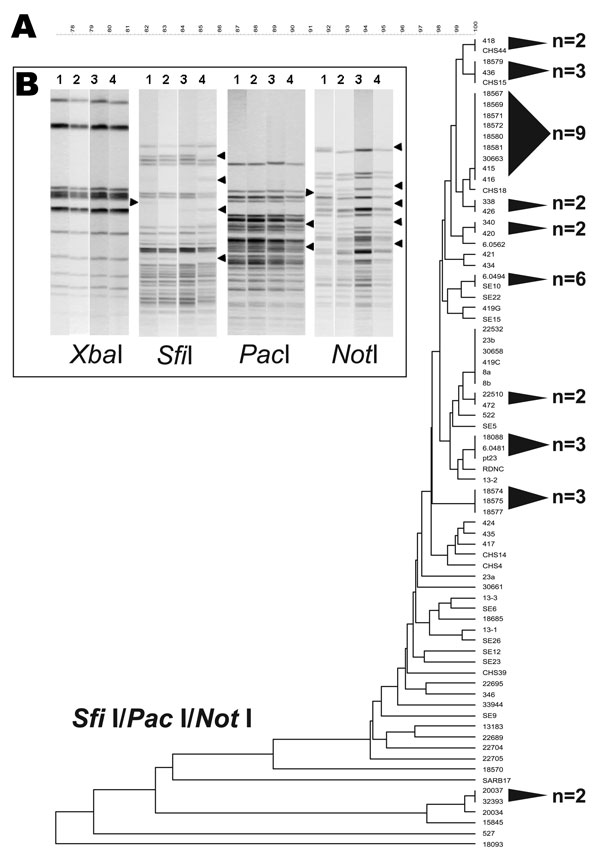 A 3-enzyme pulsed-field gel electrophoresis (PFGE)–based discriminatory scheme of Salmonella Enteritidis. A) Dendrogram derived from the combined analysis of PFGE data from SfiI, PacI, and NotI. Shaded cones to the right of the terminal branches denote polytomies within each dendrogram; adjacent numbers (n) show the strain totals composing their respective polytomies. A scale depicting percent divergence is presented above the dendrogram. B) Examples of S. Enteritidis strain differentiation that used SfiI, PacI, and NotI PFGE patterns. The 4 strains are numbered above the gel lanes as follows: 1, S. Enteritidis 9; 2, S. Enteritidis 12; 3, 22,704; and 4, 22,705. These strains yielded identical PFGE patterns for XbaI and BlnI. XbaI patterns shown here retain no variation among fragments. SfiI, PacI, and NotI showed examples of band polymorphism among DNA fragments.
