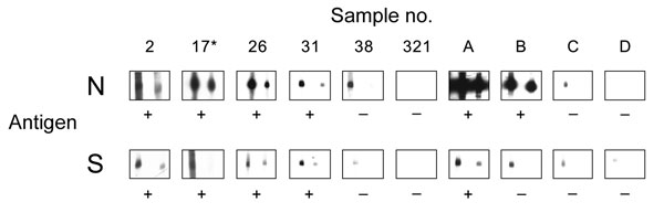 Results of Western blot analysis with recombinant severe acute respiratory syndrome–associated coronavirus (SARS-CoV) nucleocapsid (N) and spike (S) protein. Shown are examples for SARS-CoV ELISA–positive (2, 17, 26, 31) and –negative (38, 321) bat serum specimens tested using full-length recombinant SARS-CoV N and a fragment of the S protein (amino acids 318–510). Serum specimens were diluted 1:2,500 (left strips) and 1:5,000 (right strips). Secondary detection was performed by incubating the nitrocellulose strips with horseradish peroxidase (HRP)–labeled goat-antibat immunoglobulin (Ig) (Bethyl, Montgomery, AL, USA) (1:10,000). For chemiluminescence, SuperSignal Dura substrate (Pierce, Rockford, IL, USA) was added and films exposed for 1 min. Serum 17* was used as a reference for comparing blots. For evaluation purposes, strips were also incubated with human SARS-CoV–positive (A, B) and –negative serum specimens C and D (HCoV-NL63 positive) at the same dilutions, using goat-antihuman Ig HRP (1:20,000) for secondary detection. Serum specimens that produced signals at a dilution of 1:5,000 were recorded as positive (+).