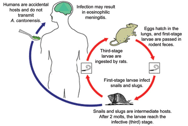 Life cycle of Angiostrongylus cantonensis. Source: www.dpd.cdc.gov/dpdx, a website developed and maintained by the Centers for Disease Control and Prevention.