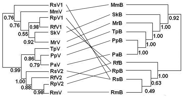Phylogenetic relationships between coronaviruses (left) and their host bat species added for reference (right). Abbreviations on both sides denote viruses harbored by bats (marked as V on the left) and bats (marked as B on the right). Rs, Rhinolophus sinicus; Mm, Miniopterus magnater; Sk, Scotophilus kuhlii; Rp, R. pearsoni; Mr, Myotis ricketti; Rf, R. ferrumequinum; Tp, Tylonycteris pachypus; Pp, Pipistrellus pipistrellus; Pa, P. abramus; Rm, R. macrotis. Values below branches are Bayesian posterior probabilities. Although some of these values are low, our analysis demonstrated a pathway for future study (28). Lines between the 2 trees were added to help visualize virus and host sequence congruence or incongruence.