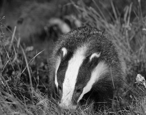 Badger: a new natural reservoir of human rabies? (Image source: Ian Stickland)