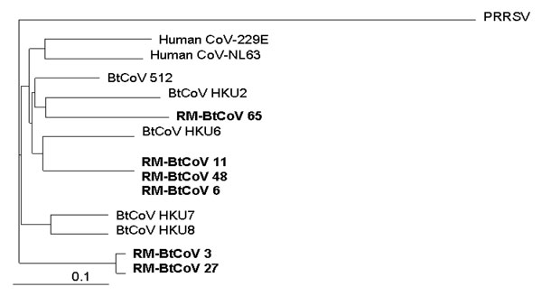 Phylogenetic relationships based on a 440-nt sequence in a conserved region of gene 1b of Rocky Mountain bat coronaviruses (RM-Bt-CoVs) (shown in boldface), group 1 coronaviruses of Asian bats (BtCoVs), and human coronaviruses 229E and NL63. Porcine respiratory and reproductive syndrome virus (PRRSV) was used as the outgroup to root the tree. Scale bar at the lower left indicates 0.1 nucleotide substitutions per site.