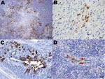 Thumbnail of Immunohistochemical (IHC) staining for influenza virus nucleoprotein in tissues of naïve juvenile Canada geese after challenge with influenza virus (H5N1). A) Pancreas. Large areas of necrosis are surrounded by pancreatic acinar cells with strong positive intranuclear and intracytoplasmic immunolabeling. B) Heart. Positive intranuclear and intracytoplasmic immunolabeling of myocytes. C) Proventriculus. Strong positive immunolabeling of compound tubular gland epithelium. D) Splenic arteriole. Positive IHC staining of vascular smooth muscle cells.