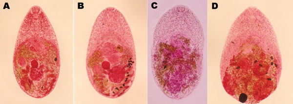 Adult trematodes isolated from Vietnamese persons. A) Haplorchis pumilio. B) H. taichui. C) H. yokogawai. D) Stellantchasmus falcatus. (Semichon acetocarmine stained, magnification ×120.)