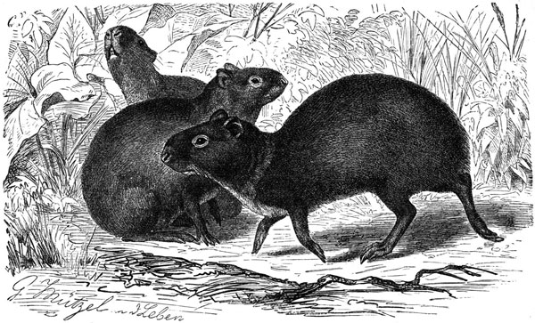 The agouti, Dasyprocta sp., one of the natural intermediate hosts for Echinoccocus oligarthrus. Drawing by Gustav Mützel (1839–1893).