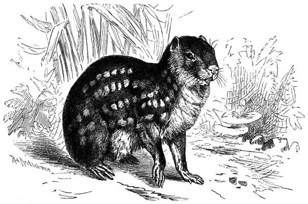 The paca, Cuniculus paca, the natural intermediate host for Echinococcus vogeli and rarely E. oligarthrus. Drawing by Robert Kretschmer (1818–1872).