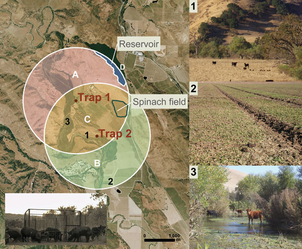 Left: aerial (2 m) photograph of ranch A showing overlapping circular buffer regions around feral swine trap 1 and trap 2 (San Benito Crop Year 2006; Image Trader, Flagstaff, AZ). The radius for the buffer (1.8 km) is the circumference of the mean home range for feral swine in mainland California (8). Estimated density = 4.6 swine/km2 and total area = (A + B + C) – D = 14.8 km2. Areas A, B, and C, combined with counts of individual feral swine from October through November 2006, were used to calculate the average population density. Bottom left: digital infrared photograph of feral swine at trap 1. Right: potential risk factors for Escherichia coli O157:H7 contamination of spinach at ranch A: 1) Feral sow and piglets sharing rangeland with cattle; 2) feral swine feces, tracks, and rooting in a neighboring spinach field; 3) cattle in surface water.