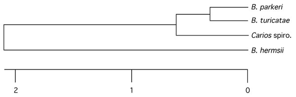 Phylogram comparing the novel spirochete in the bat tick Carios kelleyi with Borrelia parkeri, B. turicatae, and B. hermsii based on the concatenated partial 16S rRNA-flaB-glpQ DNA sequences in the Carios spirochete (1,992 bp total) (produced with ClustalV software from DNASTAR [Madison, WI, USA]). Scale bar represents the number of base substitutions per 100 aligned bases. GenBank accession numbers for the C. kelleyi spirochete sequences used to construct the tree are EF688575, EF688576, and EF688577. Spiro, spirochete.