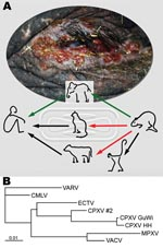 Thumbnail of Route of cowpox virus (CPXV) transmission and phylogenetic analysis of orthopoxviruses. A) Disseminated ulcerative lesions of the skin around the eye of the circus elephant. Although transmission of CPXV has been confirmed from cats and cows to humans (black arrows) (1,2), transmission from rodents, commonly mice, to cats and cows is suspected but still unproven (red arrows) (3). Rats have been confirmed as vectors for CPXV transmission to monkeys and humans (4,7). A complete chain of CPXV infection is verified from rat to elephant and from elephant to human (green arrows). B) Phylogenetic tree of nucleotide sequences of the complete hemagglutinin open reading frame (921 bp) from CPXV isolates from the elephant and rat (CPXV GuWi), and additional poxviruses available in GenBank: VARV (variola major virus, strain Bangladesh-1975; L22579), CMLV (camelpox virus M-96, Kazakhstan; AF438165.1), ECTV (ectromelia virus, strain Moscow; AF012825.2), CPXV HH (cowpox virus cowHA68, Hamburg; AY902298.2), MPXV (monkeypox virus, strain Zaire-96-I-16; AF380138.1), and VACV, (vaccinia virus WR; AY243312). In addition, the complete sequence of the hemagglutinin gene obtained from a different human CPXV case (CPXV #2) found in that area is shown. Nucleotide sequences were aligned and analyzed by using the BioEdit software package (www.mbio.ncsu.edu/BioEdit/bioedit.htm). A multiple alignment was analyzed with the neighbor-joining method. The branch length is proportional to evolutionary distance (scale bar).