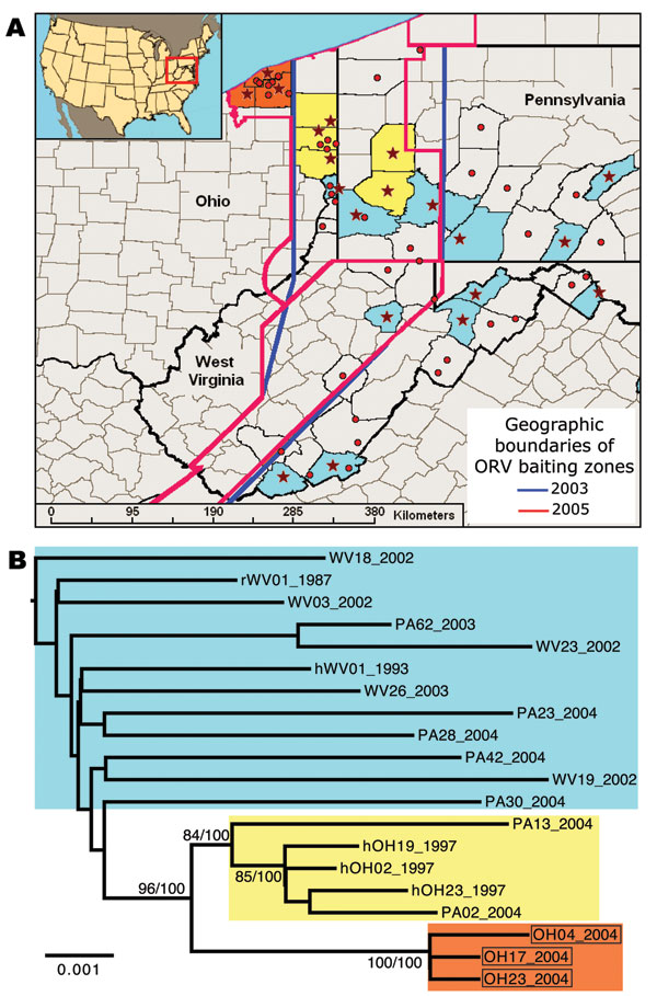 Spatial and genetic distribution of sequences of the raccoon rabies virus variant (RRV) from the 2004 Ohio outbreak relative to virus found in neighboring areas. A) Distribution of RRV samples included in phylogenetic analysis of G and N gene sequences (stars) or G sequences only (circles). Colors reflect phylogenetic groups as shown in panel B. B) Maximum-likelihood tree of concatenated G and N gene sequences of RRV sampled in or near Ohio, 1987–2004. Samples from the 2004 outbreak are boxed. Bootstrap values and corresponding Bayesian posterior values (% for both) are shown for key nodes. Tree was rooted by using RRV G and N sequences from a Florida raccoon (not shown). ORV, oral rabies vaccine. Scale bar = nucleotide substitutions per site.