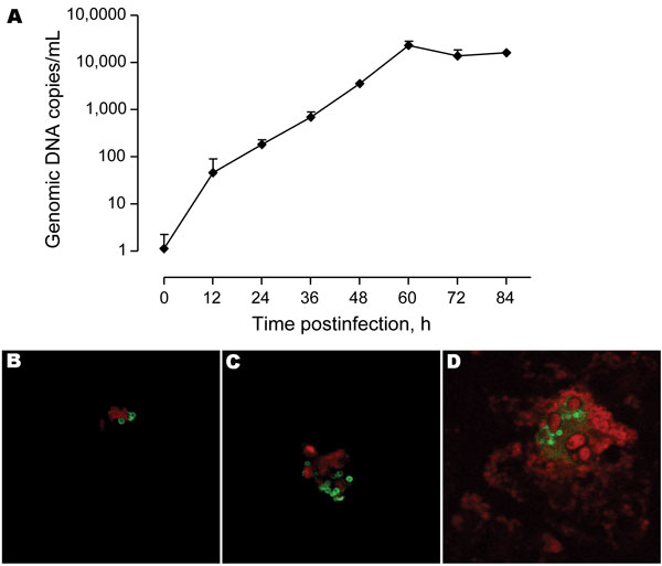 A) Growth rate of Protochlamydia naegleriophila within Acanthamoeba castellanii assessed using a specific quantitative real-time PCR. Number of DNA copies present in culture are plotted according to time postinfection. Standard errors of the mean of duplicate experiments are shown. B) Indirect immunofluorescence preformed using rabbit anti-KNic antibody directly on the bronchoalveolar lavage showing the presence of few Pr. naegleriophila strain KNic or C) in clusters of this obligate intracellular bacteria. D) Immunofluorescence performed on amebal coculture showing the presence of Pr. naegleriophila. This strain was lost in subsequent passages.