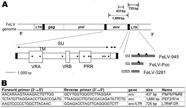 A) Diagram of the feline leukemia virus (FeLV) genome showing the PCR products obtained from FeLV-Pco env and long terminal repeat (LTR) genes. Envelope gene surface (SU) and transmembrane (TM) subunits, variable regions A and B (VRA and VRB) and the proline-rich region (PRR), 3' LTR enhancer element(s) (hatched rectangle), signature 21-bp repeat(s) (gray shading), and putative c-Myb binding sites (black triangles) (12) are depicted for FeLV-945, FeLV-Pco, and FeLV-3281A . Unique signature amino acid residues found only in FeLV-945 and FeLV-Pco are marked by asterisks (see Figure 5). B) Primer pair PfeF6/PfeR6 was designed to detect all FeLV subgroups.