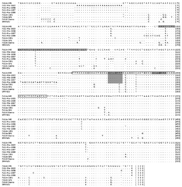 Top) Alignment of 1,794 bp of env nucleotide sequences corresponding to feline leukemia virus (FeLVA)-945 (AY662447) index sequence 154-1,869 bp. The shaded areas identify regions (indels) where panther FeLV (FeLV-Pco) sequences resemble those of FeLV-A, which rules out recombination with dissimilar endogenous FeLV sequences as represented in enFeLV-AGTT. Bottom) Panther sequences, with year of sampling (for example, FeLV-Pco-1058-03 was sampled in 2003); domestic cat subgroup A (FeLVA-945 and FeLVA-61E), recombinant (FeLVB-GA), and endogenous (enFeLV-AGTT) sequences are also shown. Matches to the reference sequence (Pco-1058-02) are indicated by a dot. Gaps are indicated by a dash.