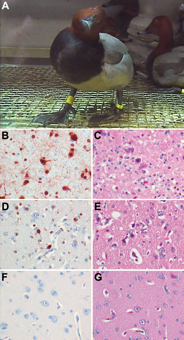 Central nervous system changes in wild ducks experimentally infected with highly pathogenic avian influenza virus (H5N1). A) Torticollis in a pochard. B) Severe multifocal encephalitis, characterized by abundant influenza virus antigen expression in neurons and glial cells and C) extensive necrosis and inflammation, in a tufted duck. D) Rare virus antigen expression in neurons and E) mild necrosis and inflammation in a gadwall that did not show neurologic signs and had only mild focal encephalitis. F) Lack of virus antigen expression and G) lack of necrosis and inflammation in brain tissue of a mallard that did not show neurologic signs. Tissues were stained either by immunohistochemistry that used a monoclonal antibody against the nucleoprotein of influenza A virus as a primary antibody (B, D, F) or with hematoxylin and eosin (C, E, G); original magnification ×100.