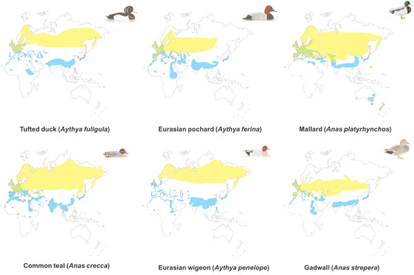 Distribution in the eastern hemisphere of the 6 wild duck species used in this study. Yellow, summer (breeding) range; blue: winter range; green, permanent range. (Sources: del Hoyo J, Elliot A, Sargatal J, editors. Handbook of the birds of the world. Volume 1: Ostrich to ducks. Barcelona: Lynx Edicions, 1992; Mullarney K, Svensson L, Zetterström D, Grant PJ. ANWB bird guide of Europe [in Dutch]. Baarn, the Netherlands: Tirion Uitgevers, 2000.)