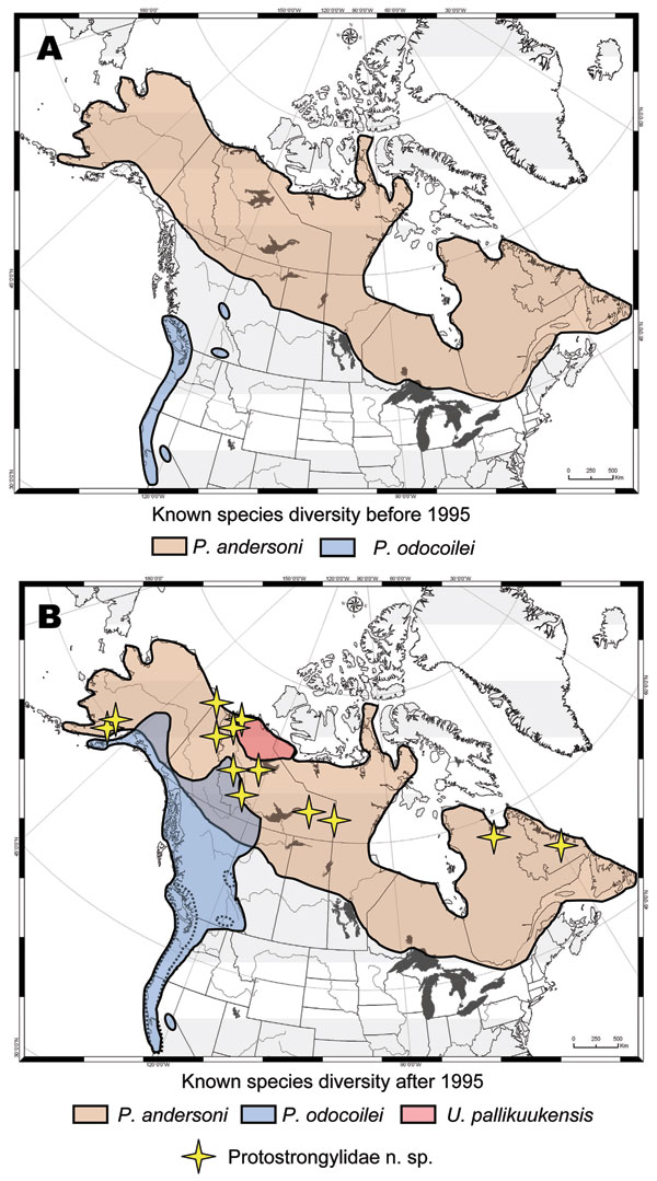 Geographic ranges for protostrongylid parasites in northern ungulates showing how survey and inventory have dramatically altered our understanding of diversity and distribution, before (A) and after (B) 1995. Distributions are depicted for Parelaphostrongylus andersoni in caribou (19,20); P. odocoilei in wild thinhorn sheep, mountain goat, woodland caribou, black-tailed deer, and mule deer (15,17); Umingmakstrongylus pallikuukensis in muskoxen (12,14); and a putative new species of Protostrongyl