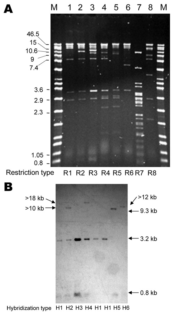 Representative PstI restriction profiles (A) and blaCMY-2 Southern hybridization (B) of plasmids from Escherichia coli DH10B transformants of CMY-2–producing Salmonella spp. clinical isolates. Lane M, Raoul molecular mass marker (Qbiogene, Illkirch, France). Lane 1, DH10B/00-7490; lane 2, DH10B/03-3349; lane 3, DH10B/03-3367; lane 4, DH10B/00-3525; lane 5, DH10B/00-4165; lane 6, DH10B/03-9969; lane 7, DH10B/03-9243; lane 8, DH10B/02-2049. Values on the left of panel A are in kb. Restriction and hybridization profiles are indicated. The gel is focused on the resolution of high molecular mass bands; smaller bands (in particular, the 0.8-kb band) are not well visualized.