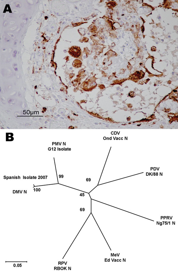 Evidence concerning the identity of the morbillivirus infecting Mediterranean striped dolphins in 2007. A) Immunohistologic staining of lung tissue with a MoAb anti CDV-NP, counterstained with hematoxylin. Epithelial bronchiolar cells and cells in the bronchiolar lumen are positively stained. B) Phylogenetic analysis of the N1/N2 region of the morbillivirus N genes. The number indicated at each node represents the bootstrap value after 10,000 replicates. The evolutionary distances were computed with the Kimura 2-parameter method and are in the units of the number of base substitutions per site. The tree is drawn to scale, with branch lengths in the same units as those of the evolutionary distances used to infer the phylogenetic tree. Details of each isolate used for this study and accession numbers for each of the sequences are as follows: DMV 2007 isolate (EU124652), PMV G12 isolate (AY949833), PPRV Nigeria/75/1 Vaccine (X74443), PDV DK/88 strain (X75717), RPV RBOK vaccine strain (Z30697), DMV isolate (AJ608288), CDV Onderstepoort vaccine strain (AF305419), and MV Edmonston vaccine strain (AF266288). DMV, dolphin morbillivirus; PMV, porpoise morbillivirus; PPRV, peste des petits ruminants virus; PDV, phocine distemper virus; RPV RBOK, rinderpest virus RBOK strain; CDV, canine distemper virus; MV, measles virus.