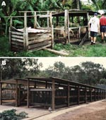 Thumbnail of Pig housing in Badu Island. A) Typical backyard pig pen in community before removal in 1998 and B) Badu Island piggery, where pigs have been housed since late 1998.