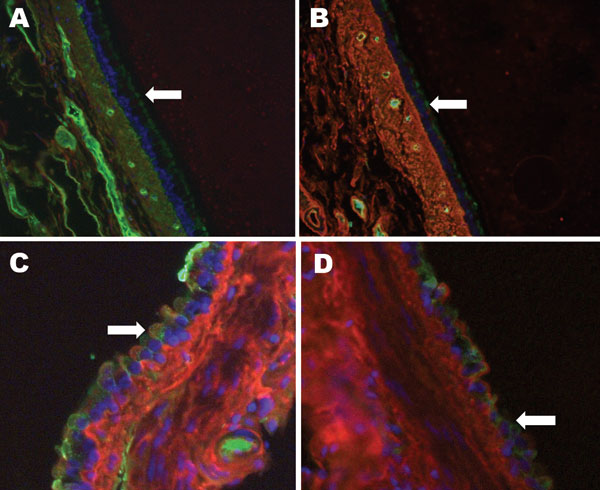 Raccoon respiratory tissues stained with lectins specific for sialic acids (SAs) with α2,6- and α2,3-linkages. A) Upper trachea; B) lower trachea; C) bronchus; D) bronchiole. Arrows indicate endothelial lining of the tissues indicated. Green staining shows a reaction with fluorescein isothiocyanate–labeled Sambucus nigra lectin, which indicates SAs linked to galactose by an α2,6-linkage (SAα2,6Gal). Red staining shows a reaction with biotinylated Maackia amurensis lectin (detected with Alexa Flu