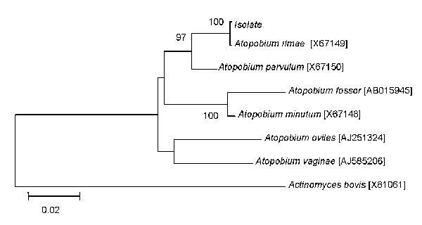 16S rDNA maximum-likelihood phylogenetic tree showing the relationships of a blood isolate with Atopobium species. GenBank accession numbers are indicated in brackets. 16S rDNA sequence of Actinomyces bovis was used as an outgroup. Bootstrap values >90% as indicated at nodes. Scale bar indicates 0.02 substitutions per nucleotide position.