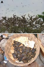 Thumbnail of A) Density of a typical Eidolon helvum roost in the Accra colony. B) E. helvum as bushmeat in an Accra market.
