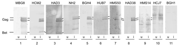 Figure 1 - Western blot assays using human serum. Dilutions of human serum (lanes 2–11) or a foamy virus–-positive Macaca mulatta MBG8 (lane 1) were used to probe filter strips containing equal amounts of lysates from simian foamy virus–infected cells (from M. fascicularis; i lanes) or noninfected cells (u lanes). Individual strips were developed by using TMB reagent (3,3′,5,5′-tetramethylbenzidine; Promega, Madison, WI, USA). The positions of the viral proteins Gag and Bet are indicat