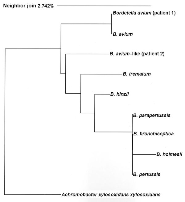 16S rRNA dendrogram. Phylogenetic tree of relationships among Bordetella spp. inferred on the basis of aligned 16S rRNA gene sequences from type strains (first 500 bp); a neighbor-joining algorithm with Achromobacter xylosoxidans xylosoxidans is used as an outgroup. B. avium, ATCC35086; B. bronchiseptica, ATCC19395; B. hinzii, ATCC51783; B. holmseii, ATCC51541; B. parapertussis, ATCC15311; B. pertussis, ATCC9340; B. trematum, DSM11334. Scale bar indicates percentage genetic distance.
