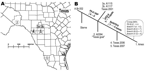 Geographic and phylogenetic relationships among strains closely related to Bacillus anthracis Ames strain. A) Spatial relationships among Ames-like isolates from southern Texas. 1, location of the original Ames strain, isolated from Jim Hogg County, Texas, in 1981; 2, closely related Texas 1997 goat isolate (A0394); 3a and 3b, Texas 2001 isolates; 4 and 5, most recent cases, i.e., Texas 2006 (Kinney County) and Texas 2007 (Uvalde County). B) Genetic relationships among isolates with variable-number tandem-repeat and single-nucleotide polymorphism (SNP) differences giving rise to that particular branch (arrows). The numbers at each branch terminus correlate with the numbers depicted on the map. SNP states are from ancestral to derived.