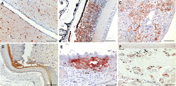 Figure 2 - Immunohistochemical analysis for nucleoprotein of avian influenza virus. Tissue sections were stained by using the avidin-biotin-peroxidase complex method, 3-amino-9-ethylcarbazole (red), and hematoxylin (blue). A) Brain, cerebrum: numerous glial cells, neurons and ependymal cells stain positive for influenza virus antigen (scale bar = 200 μm). B) Eye, retina: cells of the pigmented epithelial layer, photoreceptor cells, and cells of the outer and inner nuclear layers are po