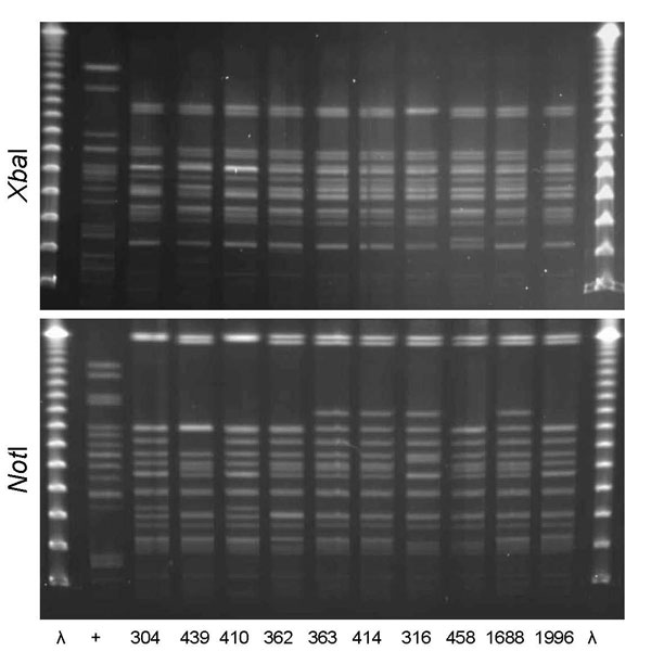 XbaI and NotI pulsed-field gel electrophoresis patterns for clonal group C Escherichia coli isolated from women with urinary tract infections in Montréal, Québec, Canada, 2006 (lanes 304, 439, 362, 363, and 414) and Berkeley, California, USA, 1999–2001 (lanes 410, 316, 458, 1688, and 1996). The 10 isolates shown were susceptible to all antimicrobial drugs tested and included serogroups O1, O2, or O18. First and last lanes, bacteriophage λ; lane +, positive control.