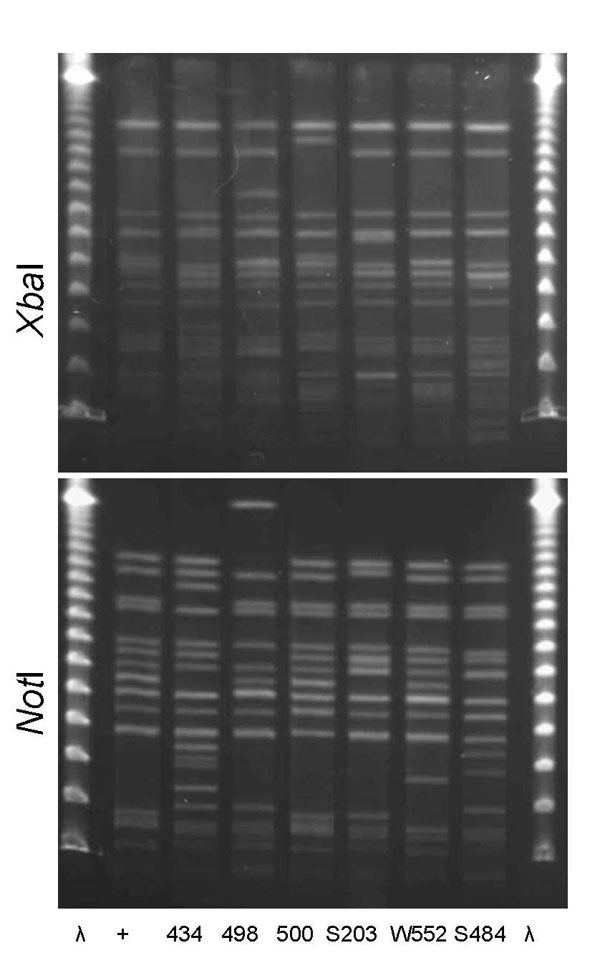 XbaI and NotI pulsed-field gel electrophoresis patterns for clonal group A Escherichia coli isolated from women with urinary tract infections in Montréal, Québec, Canada, 2006 (lanes 434 and 498) and Berkeley, California, USA, 1999–2001 (lanes 500, S203, W552, and S484). Antimicrobial drug resistance phenotypes and serogroups (O11, O17, O77, and O73) varied within and between the 2 study locations. First and last lanes, bacteriophage λ; lane +, positive control.