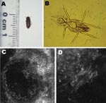 Thumbnail of Organisms involved in transmission of Pyemotes ventricosus dermatitis. A) Common furniture beetle (Anobium punctatum) (5 × 2 mm). B) Nongravid female P. ventricosus mite (210 × 40 μm). C) Confocal laser scanning microscopy (CLSM) image (CLSM Vivascope 1500 microscope; Lucid Inc., Rochester, NY, USA) of a P. ventricosus mite (210 × 40 μm) in its microvesicle. D) Higher magnification of the microvesicle in panel C (light area in the center) (magnification ×4).