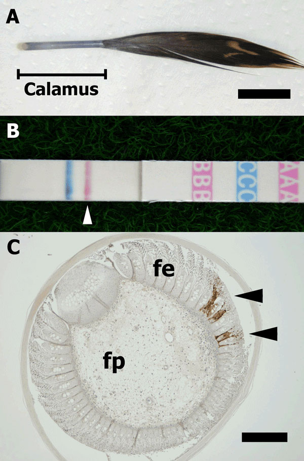 A) Developing contour feather. The calamus was used for examination (bar = 1 cm). B) Result of the rapid test with feathers. A pink line (arrowhead) indicates a positive result for influenza A virus. C) Immunohistochemical stain of a biopsied feather composed of feather epidermis (fe) and feather pulp (fp). Influenza virus nucleoprotein was detected in the fe epidermal cells (arrowheads) (bar = 200  m).