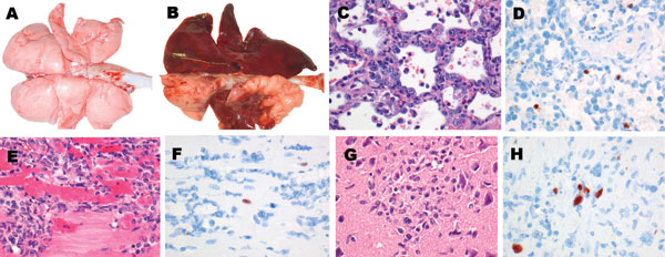 Lesions and associated expression of influenza virus antigen in respiratory and extrarespiratory organs of foxes infected intratracheally with HPAI virus (H5N1), at 7 days postinoculation. A) Lungs of control fox sham-inoculated with phosphate-buffered saline. B) Lungs of intratracheally inoculated fox presenting extensive consolidated lesions (darkened areas), characterized by C) diffuse alveolar damage and regeneration (type II pneumocyte hyperplasia) and D) expression of influenza virus antig