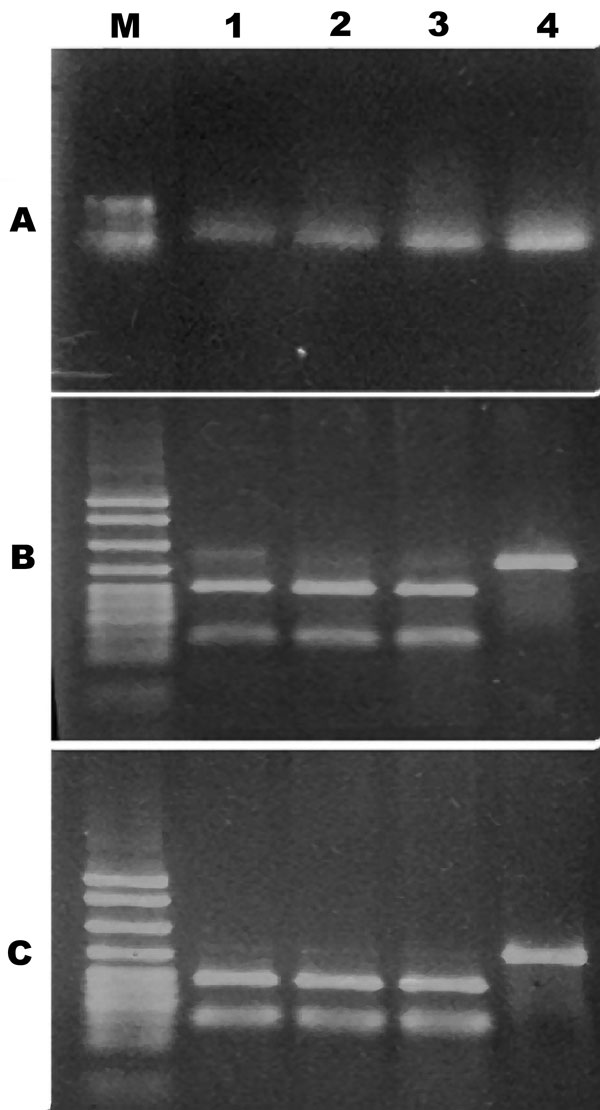 Figure 1 - PCR restriction fragment length polymorphism of Vibrio vulnificus cytotoxin gene vvhA. A) PCR amplicon of vvhA gene restriction digested with B) PstI or C) KpnI. Gel shows molecular size standards (M) and V. vulnificus biotype 3 (lanes 1–3) and biotype 1 (lane 4).