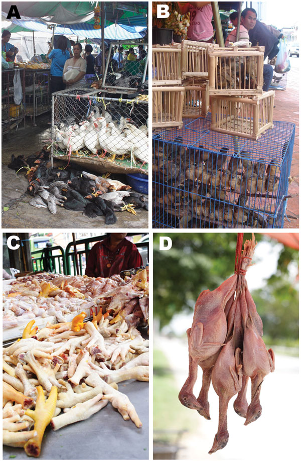 A) Poultry at live bird market; B) house sparrows at live bird market; C) chicken meat at food market; and D) moor hen meat at food market.