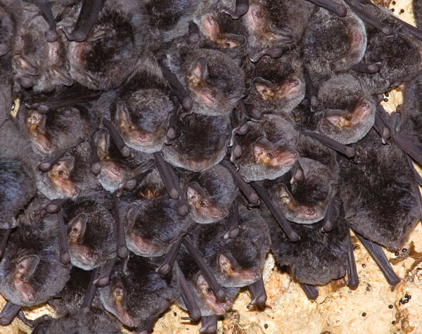Colony of Miniopterus minor bats in cave.