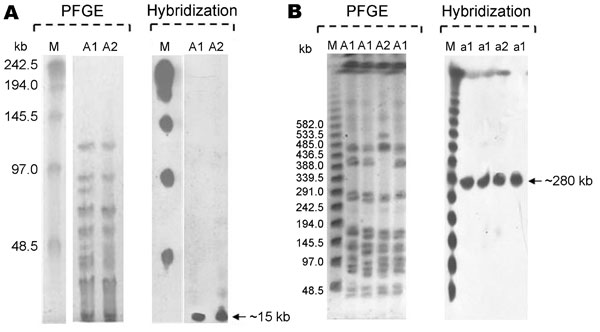Pulsed-field gel electrophoresis (PFGE) patterns of Corynebacterium striatum and their representative hybridizations obtained with probes corresponding to the resistance genes erm(X), tetA-tetB, cmx, and aphA1 (m, lambda ladder PFG marker). A) XbaI (A1and A2 profiles); B) SwaI (a1 and a2 profiles).