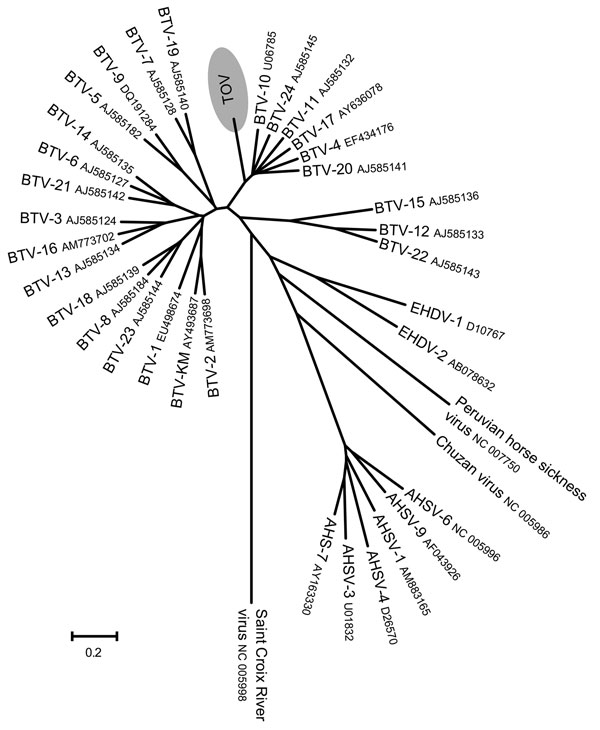 Phylogenetic analysis of Toggenburg orbivirus (TOV) (shaded region) genome segment 2 by ClustalW alignment (16) and subsequent neighbor-joining tree construction by MEGA version 4 software (15). GenBank accession numbers are indicated for all orbivirus sequences used to construct dendrogram. BTV, bluetongue virus; EHDV, epizootic hemorrhagic disease virus; AHSV, African horse sickness virus. Scale bar indicates number of nucleotide substitutions per site.