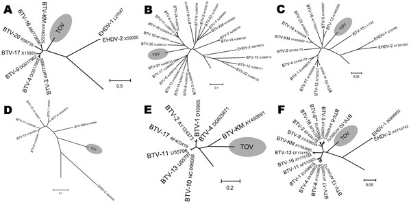 Phylogenetic analysis of Toggenburg orbivirus (TOV) (shaded regions) genome segments by ClustalW alignment (16) and subsequent neighbor-joining tree construction by MEGA version 4 software (15). GenBank accession numbers are indicated for all orbivirus sequences used to construct dendrograms. A) Segment 5; B) segment 6; C) segment 7; D) segment 8; E) segment 9; F) segment 10. BTV, bluetongue virus; EHDV, epizootic hemorrhagic disease virus. Segments show only relevant parts of dendrograms. **Segment 10 sequence of BTV-8 currently circulating in northern Europe. Scale bars indicate number of nucleotide substitutions per site.