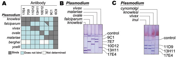 Binding specificity of different anti–Plasmodium lactate dehydrogenase (pLDH) antibodies. A) Shown are the reactivities of the indicated monoclonal antibodies (MAbs) to the LDH from 7 Plasmodium spp. Reactivity was determined by using an immunocapture assay as previously described (9). B) Example of an immunodipstick assay that detects P. knowlesi. An immunochromatographic strip assay containing the indicated antibodies was allowed to wick lysed blood infected with P. vivax, P. falciparum, P. kn
