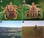 Thumbnail of Adult female (A) and male (B) Amblyomma triste ticks and tick collection sites in the lower Paraná River Delta of Buenos Aires Province, Argentina, showing freshwater marsh habitats in the Reserva Natural Otamendi (C) and Estación Experimental Instituto, Nacional de Tecnología Agropecuaria, Delta del Paraná (D).