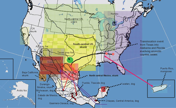 Current distribution of major rabies virus (RV) lineages associated with terrestrial carnivores and dogs in the United States and Mexico. Translocation movements proposed on the basis of the phylogenetic analysis (bidirectional arrows in colors) and confirmed translocations events on the basis of descriptive and epizootiologic investigations are shown. Boldface indicates RV lineages associated with rabies enzootics autochthonous for the New World (not associated with dogs).