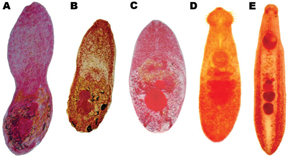 Adult trematodes recovered from domestic animals in Nghe An Province, Vietnam. A) Haplorchis taichui; B) H. pumilio; C) H. yokogawai; D) Echinochasmus japonicus; E) Echinostoma cinetorchis.