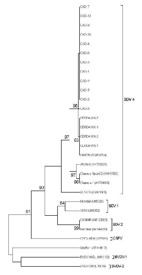 Unrooted neighbor-joining phylogenetic tree based on the 5′ untranslated region sequence among pestiviruses isolated from chamois, Spain. Chamois strains were enclosed in a differentiated group into border disease virus 4 (BDV-4). Numbers on the branches indicate percentage bootstrap values of 1,000 replicates. Numbers on the right in parentheses indicate GenBank accession numbers. CSFV, classical swine fever virus; BVDV, bovine viral diarrhea virus.