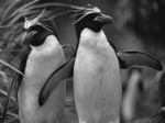 Thumbnail of Macaroni penguins (Eudyptes chrysolophus). Photo by Jonas Bonnedahl.