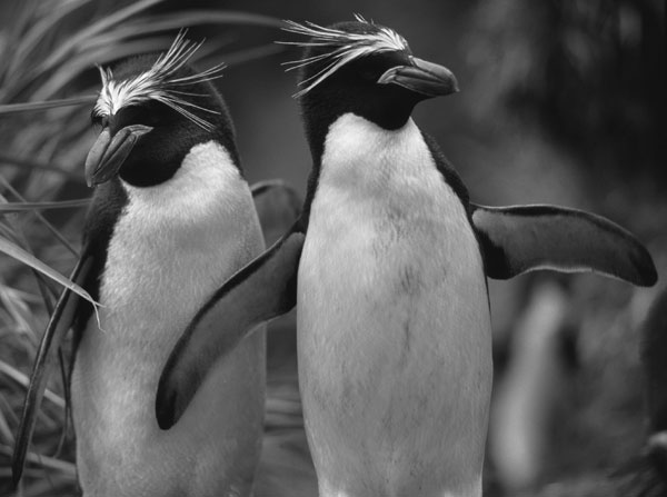 Macaroni penguins (Eudyptes chrysolophus). Photo by Jonas Bonnedahl.