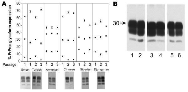 A) Proteinase K–resistant prion protein (PrPres) glycoform profiles for 6 hamster species for each of 3 successive passages: 1, initial cross-species passage; 2, second intraspecies passage; 3, third intraspecies passage. Each passage represents 6 different animals, each quantified 6–8 times. Each lane had 0.5 mg tissue equivalents per lane. ●, percentage of unglycosylated band; ■, partially glycosylated band; ▲, fully glycoslyated band. Western blot representation of glycoform for each species
