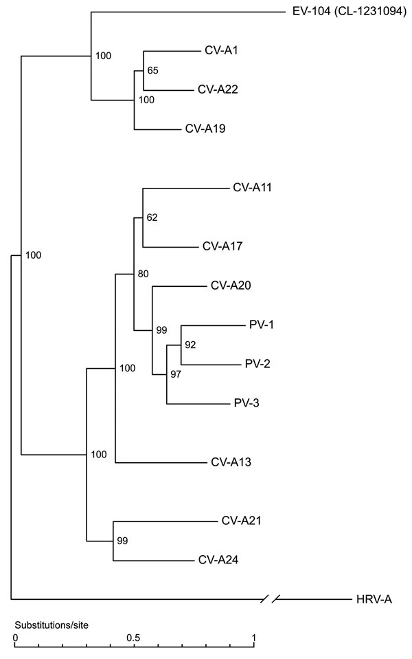 Full genome phylogenetic tree of enterovirus 104 (EV-104), representative strain CL-1231094, and members of the human enterovirus C (HEV-C) species. Human rhinovirus A (HRV-A) (GenBank accession no. DQ473509) was used as outgroup. Coxsackievirus A1 (CV-A1) (AF499635), CV-A21 (AF546702), CV-A20 (AF499642), CV-A17 (AF499639), CV-A13 (AF499637), CV-A11 (AF499636), CV-A19 (AF499641), CV-A22 (AF499643), CV-A24 (D90457), poliovirus 1 (PV-1) (V01148), PV-2 (X00595), and PV-3 (X00925) sequences were obt